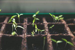 garden box seedling